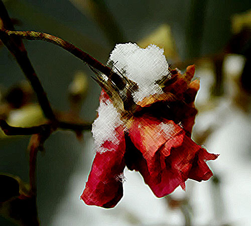 En vissnad ros med snö på nacken