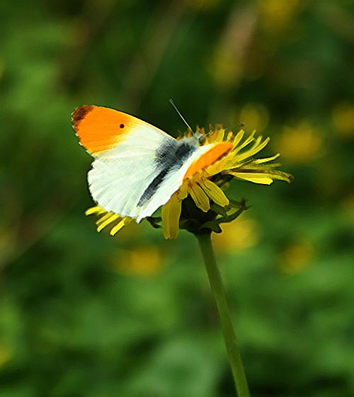 Tvåfärgad fjäril