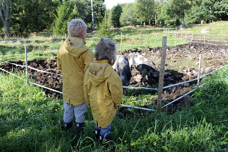 Walle och Helmer tittar på Håkan och Cecilias Linderödsgrisar